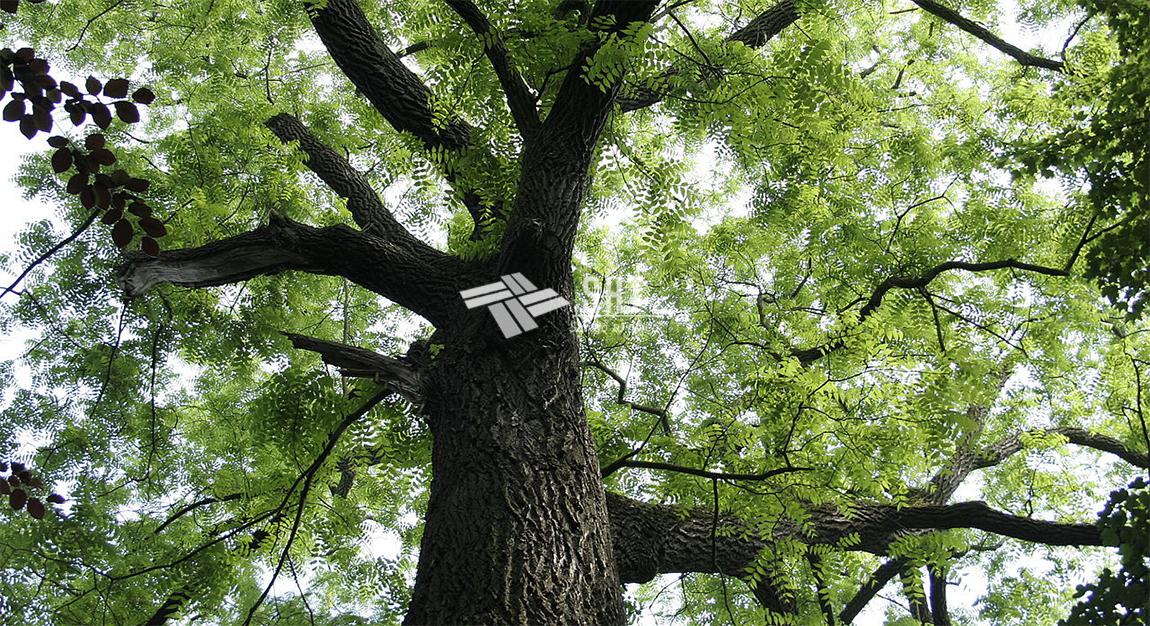 Cây gỗ lim tự nhiên